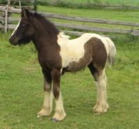 SRS Lacey, 2014 Gypsy Vanner Horse filly