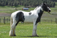 Blue Man of Mystery, 2013 Gypsy Vanner Horse gelding