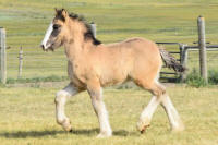 SSFR Buy In, 2016 Gypsy Vanner Horse colt