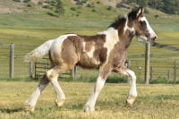 SSFR foal, 2016 Gypsy Vanner Horse colt