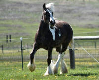 SSFR Foxy Lady, 2015 Gypsy Vanner Horse filly