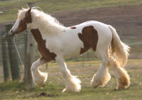 SSFR May Fly, 2013 Gypsy Vanner Horse filly