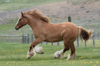 SSFR Queen of Hearts, 2014 Gypsy Vanner Horse filly