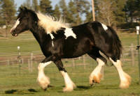 SSFR Simply Synsastional, 2013 Gypsy Vanner Horse filly