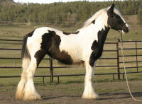 2011 filly SSFR Sophie, 2011 Gypsy Vanner Horse filly