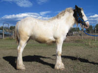 SSFR Stardust, 2014 Gypsy Vanner Horse filly