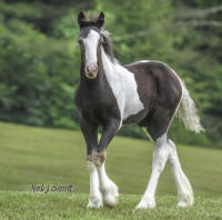 SWF Briella's Blue Angel, 2016 Gypsy Vanner Horse filly