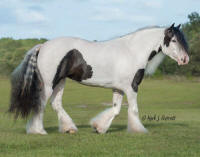 WR Sahara, 2010 Gypsy Vanner Horse mare