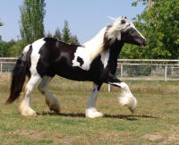GFR Sammy, 2006 Gypsy Vanner Horse filly