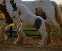Kinders Jackpot Saphira, 2010 Gypsy Vanner Horse filly