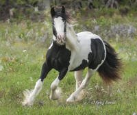 GG Sassy, 2011 Gypsy Vanner Horse filly