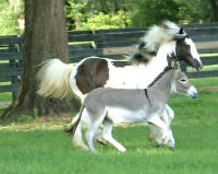 Gypsy Gold's Seventh Heaven, 2004 Gypsy Vanner Horse filly