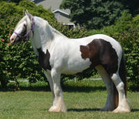 N'Co Zorro's Shake Your Tail Feather, 2012 Gypsy Vanner Horse mare