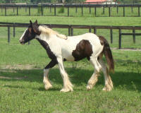 VVF Gigi, 2008 Gypsy Vanner Horse filly