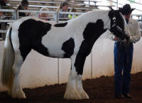 BPG Kamila aka The Shoo Fly Filly, 2007 Gypsy Vanner Horse mare