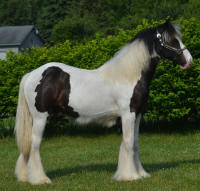 N'Co Mr. Bikers Signature, 2015 Gypsy Vanner Horse colt