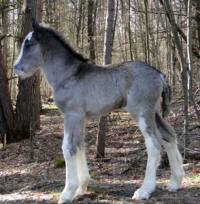 Feathered Gold Silhouette, 2016 Gypsy Vanner Horse filly