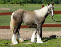 Feathered Gold Silver Angel, 2013 Gypsy Vanner Horse filly
