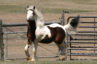 Silversmith filly, Gypsy Vanner Horse foal