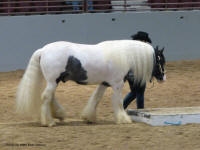 N'Co So Hot I Sizzle, 2009 Gypsy Vanner Horse gelding