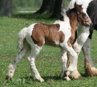 WCF Smooth Operator, 2010 Gypsy Vanner Horse colt