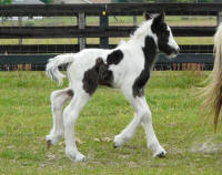 Snowflake filly, 2014 Gypsy Vanner Horse foal