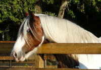 High Valley Snowflake, 2004 imported Gypsy Vanner Horse mare