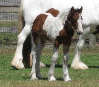 Sophie, 2008 Gypsy Vanner Horse filly