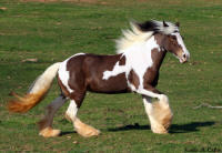 Sophia P, imported Gypsy Vanner Horse mare
