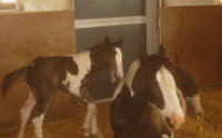 Orlaith, Gypsy Vanner Horse filly