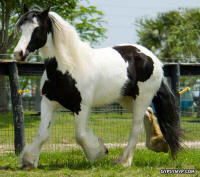 Sorcha of Beacon, 2002 imported Gypsy Vanner Horse mare