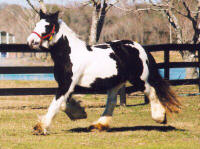 Sovereign, imported Gypsy Vanner Horse mare