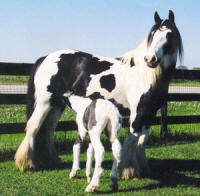 Sovereign, 1998 imported Gypsy Vanner Horse mare