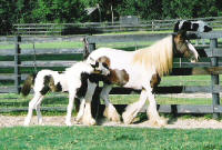 Annie Lou, imported Gypsy Vanner Horse mare
