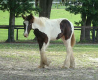VVF Bentley, 2008 Gypsy Vanner Horse colt