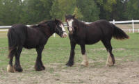 Zeus, 2007 imported Gypsy Vanner Horse colt