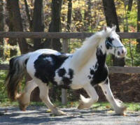 Westmoreland Splish Splash, 2002 imported Gypsy Vanner Horse mare