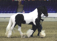 The Star Spangled Vanner, 2009 Gypsy Vanner Horse stallion