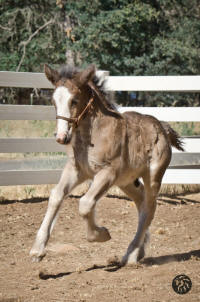 Starfire The Steamroller, 2014 Gypsy Vanner Horse colt