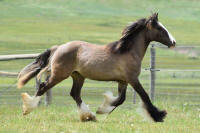 Silver Meadows Stella Luna, 2015 Gypsy Vanner Horse filly