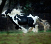 Storm King, 2005 Gypsy Vanner Horse colt