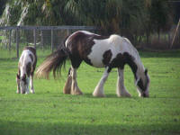 Gypsy Stowe, imported Gypsy Vanner Horse mare