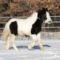 Feathered Gold Stryker, 2010 Gypsy Vanner Horse colt