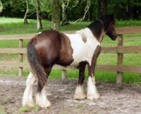 Royal Daulton, 2002 Gypsy Vanner Horse stallion