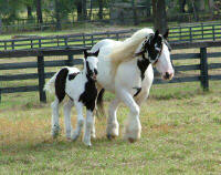 Shampoo Girl, 1995 imported Gypsy Vanner Horse mare