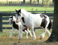 Shampoo Girl and Seventh Heaven, Gypsy Vanner Horse mare & 2004 filly