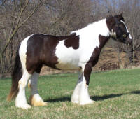 Swansea of Feathered Gold, 2005 imported Gypsy Vanner Horse mare