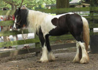 Sweeping Beauty, 2011 Gypsy Vanner Horse mare