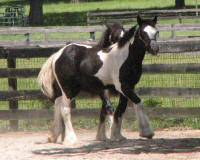GG The King's Little Black Rose, 2016 Gypsy Vanner Horse filly