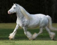 Sterling Sylvia, imported Gypsy Vanner Horse mare